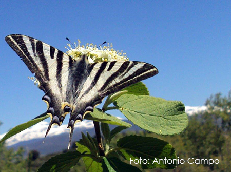 Chupaleches: Iphiclides Podalirius SSP Feisthamelii