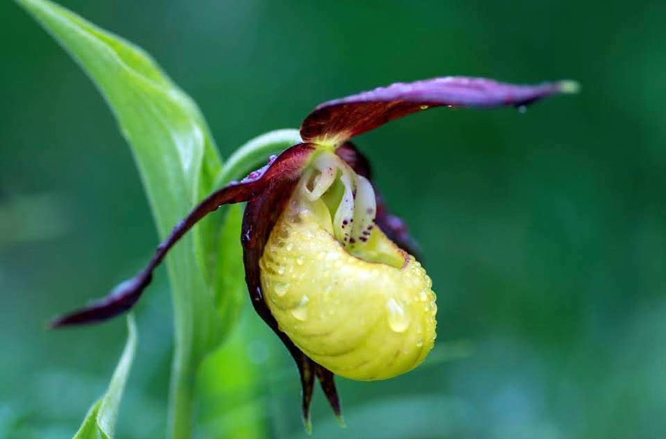 Cypripedium calceolus (zapatito de dama)